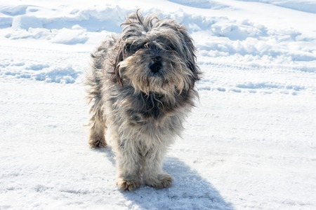 muddy: Homeless shaggy dog on the background of snow. Stock Photo