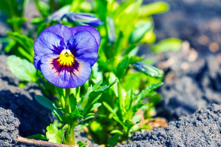 Viola tricolor, pansy flower in the spring garden 1 Stock Photo