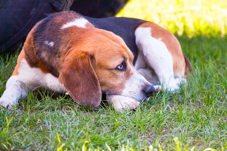 Dog of the Beagle breed lies on the green grass. Soft focus Stock Photo