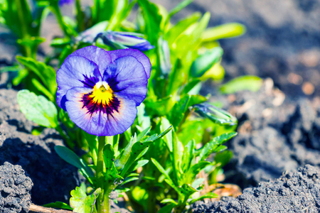 mauve: Viola tricolor, pansy flower in the spring garden 2 Stock Photo