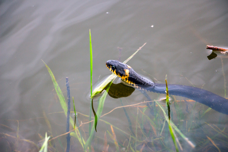 Grass snake in the wild. Photos of the snake in the water 1