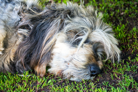 carpet stain: Muzzle of a dog sleeping on the grass