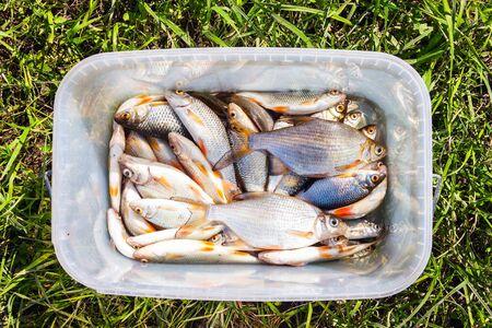 Fresh lake fish in a plastic square bucket