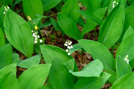 Lily of the valley in the spring forest. Convallaria majalis