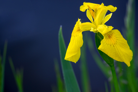 differential: Yellow flag iris pseudacorous on a blurred dark background