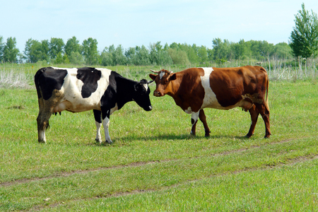 Two cows stand in a meadow near the forest Stock Photo