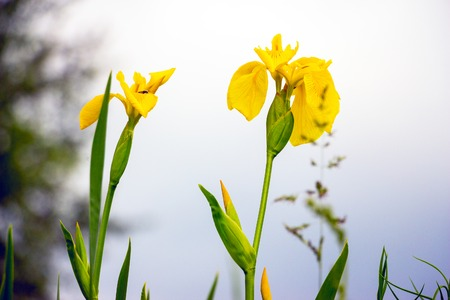 Yellow flag iris pseudacorous on a blurred background