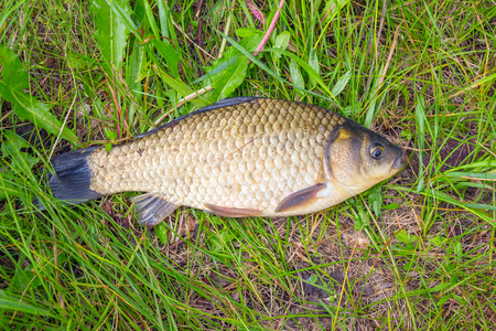 A small crucian on a green grass. Fishing for crucian carp. Carassius