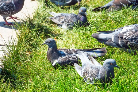 Gray pigeons in summer stands on green grass