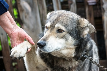 soltería: Portrait of a dog mongrel with the hand of the owner. A dog gives a paw to a person. Friendship between dog and man