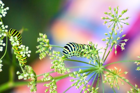 Swallowtail caterpillar eating the leaf of cow parsnip Reklamní fotografie