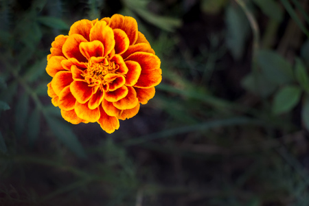 Flower marigold on a dark natural background Фото со стока