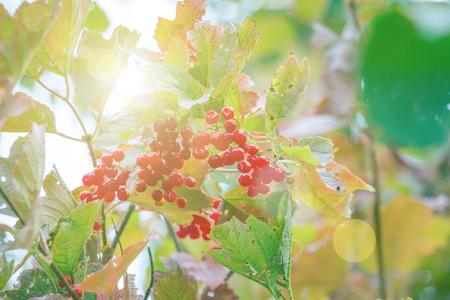 Wild berries of red viburnum in the sunlight Stock Photo
