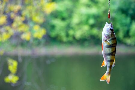 perca: Perch caught in a spoon-bait. River perch on the hook