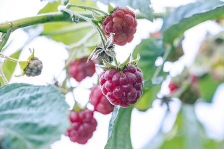 Red ripe raspberries in the garden on a branch