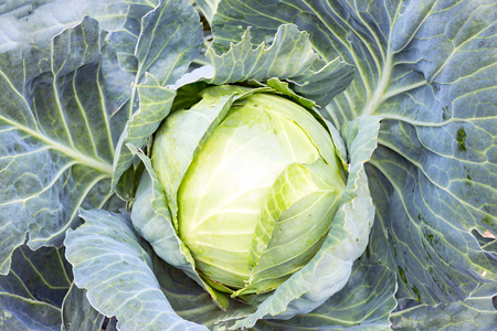Ripe white cabbage in the garden. Vegetable for a vegetarian diet Stock Photo