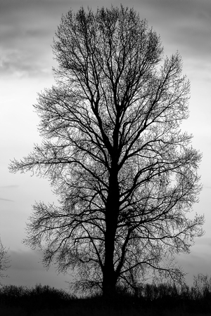 Silhouette of a tree without leaves on a natural background. Black and white photo Stock Photo