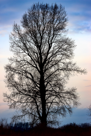 Silhouette of a tree without leaves on a natural background Stock Photo