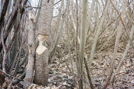 The tree that the beavers gnawed in a small aspenwood