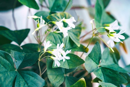 Small white flowers with green leaves. Oxalis Stock Photo