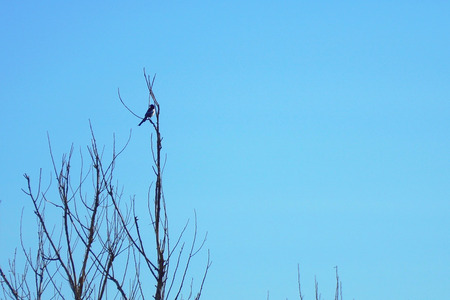 Magpie on a branch of a dry tree against a blue sky Stock Photo