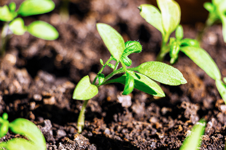 The green shoots of the seedlings on a natural background