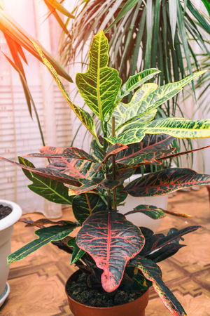 Home plant Croton in a pot. Codiaeum variegatum. Plant with striped leaves