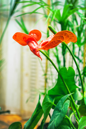 Red flower anthurium in the room. Selective focus