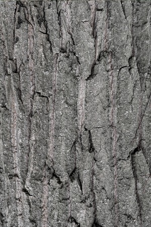 Texture of tree bark for background and design