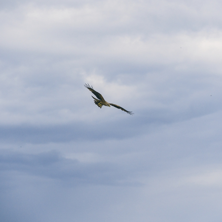 Bird of prey flying against the cloudy sky Stock Photo