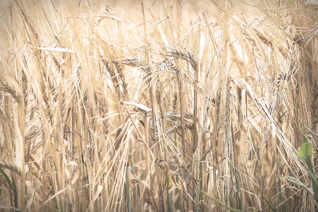 Golden ears of ripe wheat. Selective focus Imagens