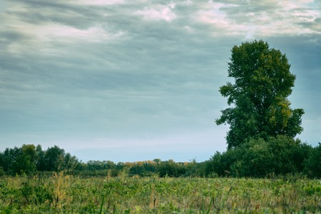 A tall old tree stands alone in a meadow. Cloudy weather