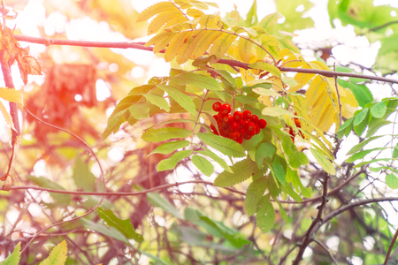 Bright Red Rowan berries swaying wind. In the sunlight. Soft focus