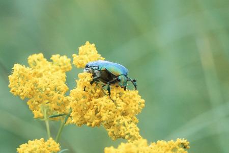 Large shiny green beetle Cetonia aurata on yellow flower Stock Photo