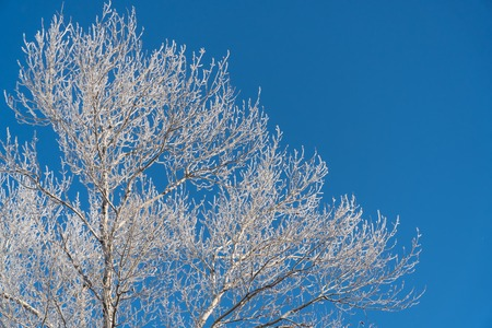Branch in hoarfrost on a background blue sky Stock Photo