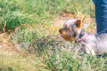 Yorkshire terrier with a collar at the feet of the owner, on the background of grass