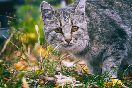 Portrait of a grey cat on a natural background. Anxious look of a gray cat Фото со стока