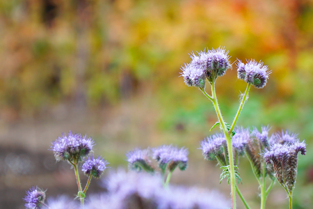 Purple flowers of Phacelia in the garden Stock Photo
