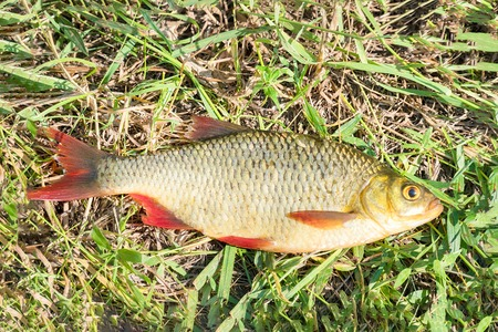Fish with red fins on the grass. Rudd - Scardinius erythrophthalmus
