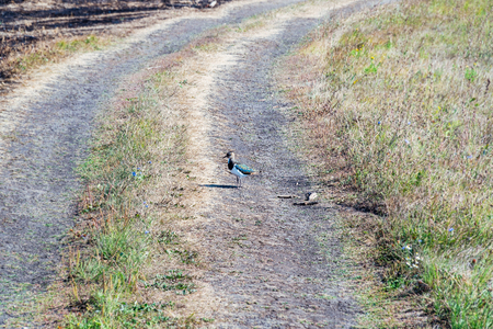 Bird the lapwing standing on a country road