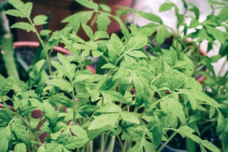 Green leaves shoots tomatoes. Tomato seedlings