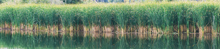 Reed, sedge or reed on a lake or pond. Panoramic photo