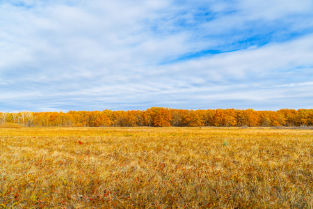 Autumn Yellow orange forest in front of a meadow with dry grass