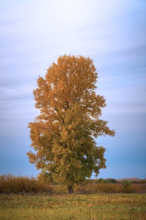 Old tall poplar with yellow leaves on autumn meadow. Populus nigra