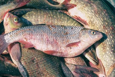 Many river fish. Freshwater fish - Carp, roach, Rudd, pike , bream, etc