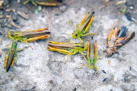 Locusts on the ground. Macro, close-up. Locust invasion. Selective focus