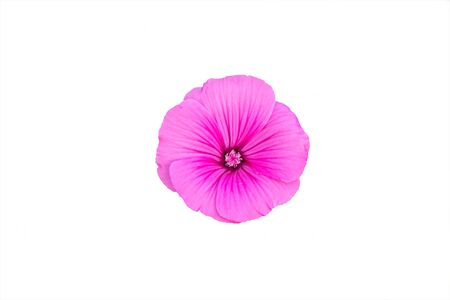 Delicate pink flower isolated on white background. Lavatera malvaceae, or annual, rose, royal or regal Mallow