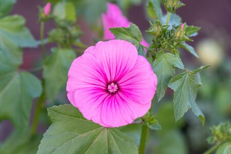 Delicate pink flower on green leaves background. Lavatera malvaceae, or annual, rose, royal or regal Mallow