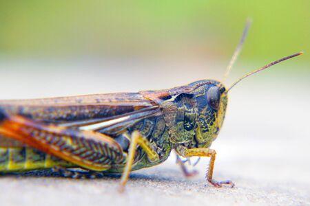 Locusts on the ground. Macro, close-up. Locust invasion