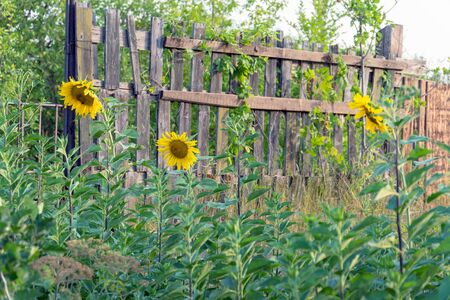 Flowers blooming sunflowers near a wooden fence Imagens